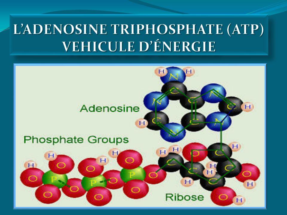 L'ADENOSINE TRIPHOSPHATE (ATP) VEHICULE D'ÉNERGIE