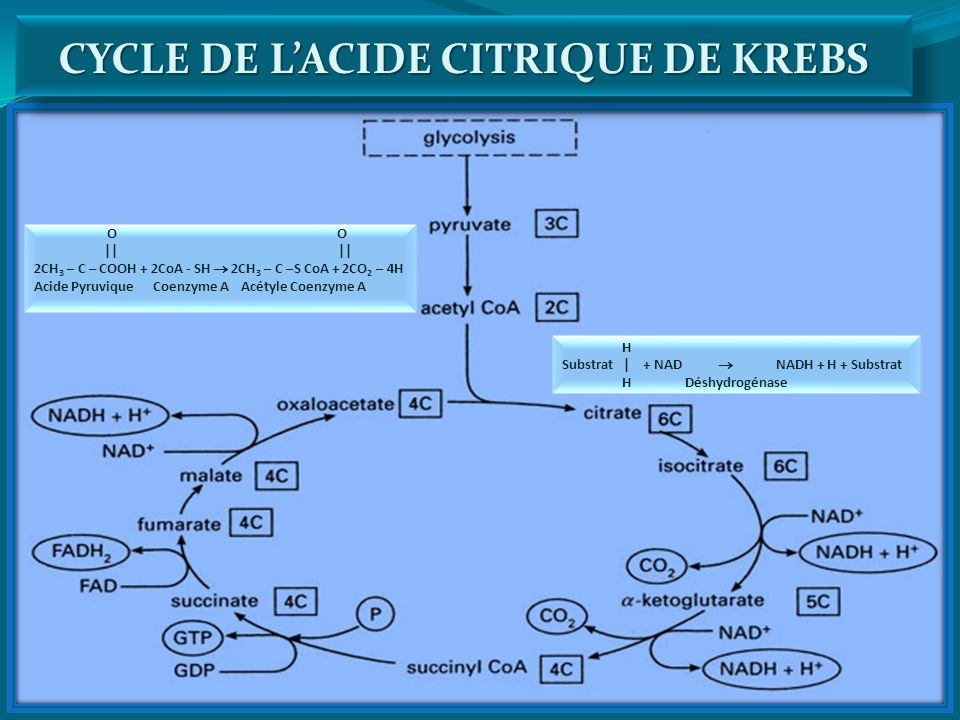CYCLE DE L'ACIDE CITRIQUE DE KREBS