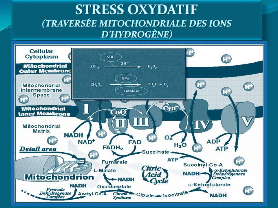 STRESS OXYDATIF (TRAVERSÉE MITOCHONDRIALE DES IONS D'HYDROGÈNE)