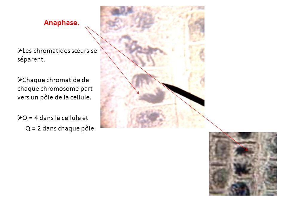 Anaphase. Les chromatides sœurs se séparent.