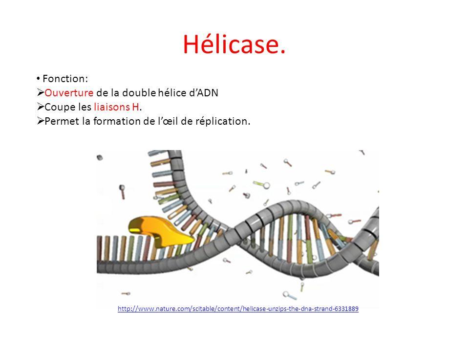 Hélicase. Fonction: Ouverture de la double hélice d'ADN