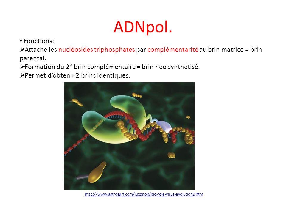 ADNpol. Fonctions: Attache les nucléosides triphosphates par complémentarité au brin matrice = brin parental.