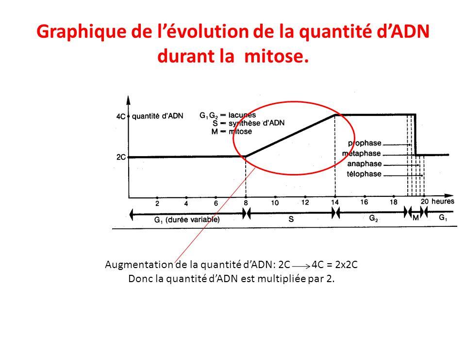 Graphique de l'évolution de la quantité d'ADN durant la mitose.
