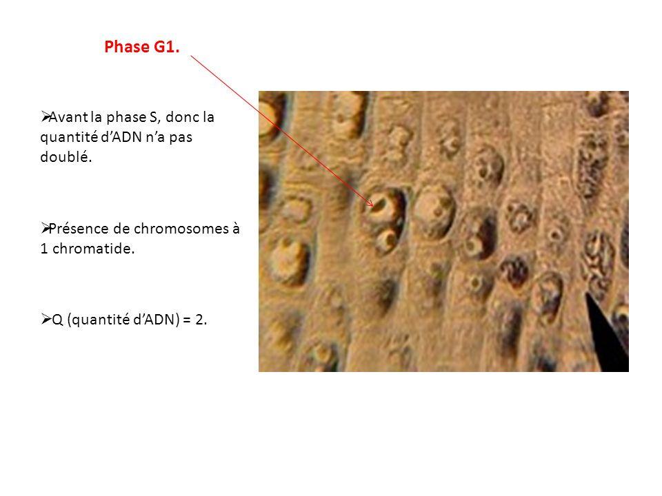 Phase G1. Avant la phase S, donc la quantité d'ADN n'a pas doublé.