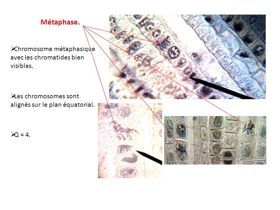 Métaphase. Chromosome métaphasique avec les chromatides bien visibles.
