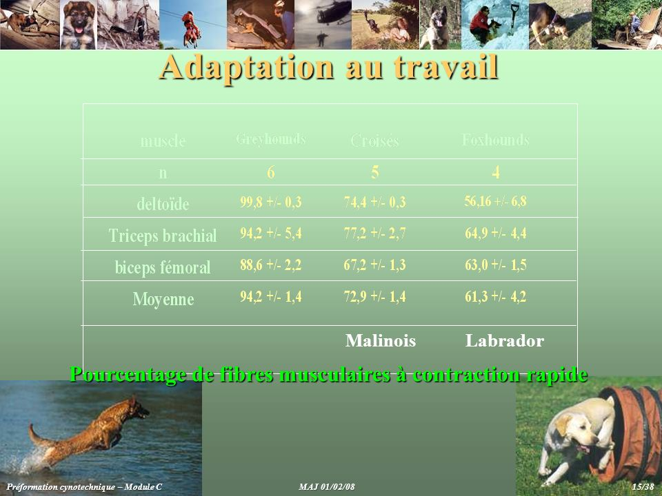 Adaptation au travail Malinois. Labrador. Pourcentage de fibres musculaires à contraction rapide.