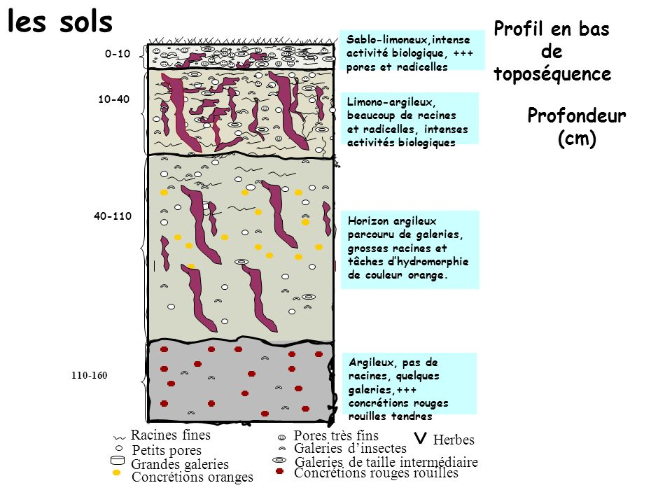 les sols Profil en bas de toposéquence Profondeur (cm) Racines fines