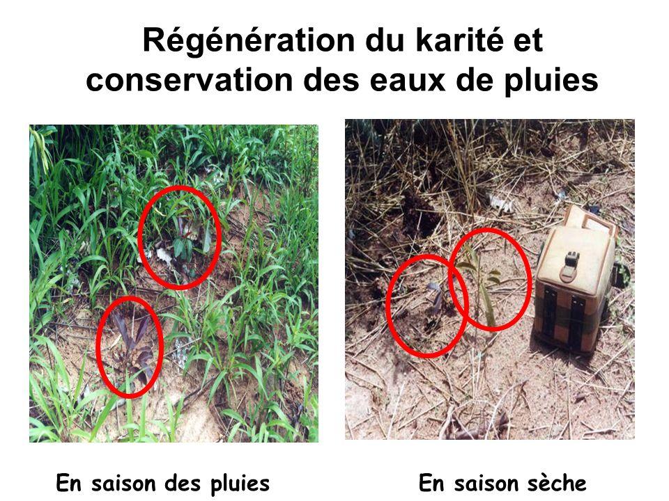 Régénération du karité et conservation des eaux de pluies