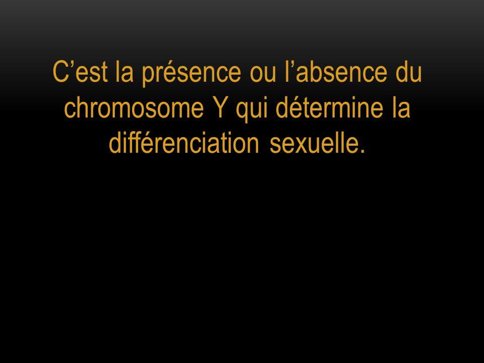 C'est la présence ou l'absence du chromosome Y qui détermine la différenciation sexuelle.