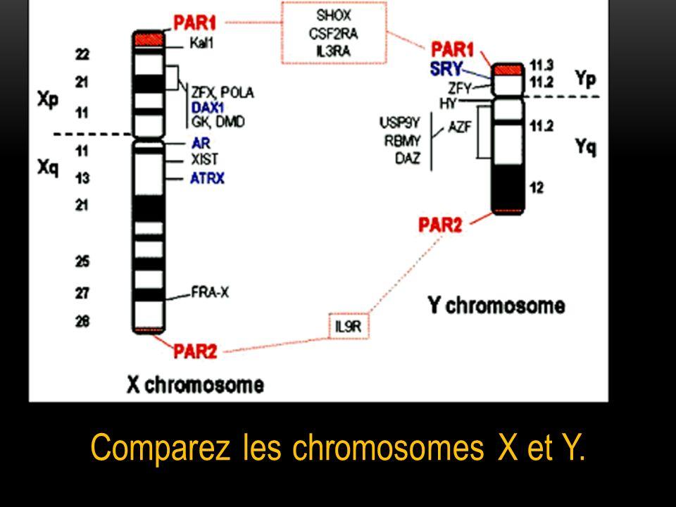 Comparez les chromosomes X et Y.