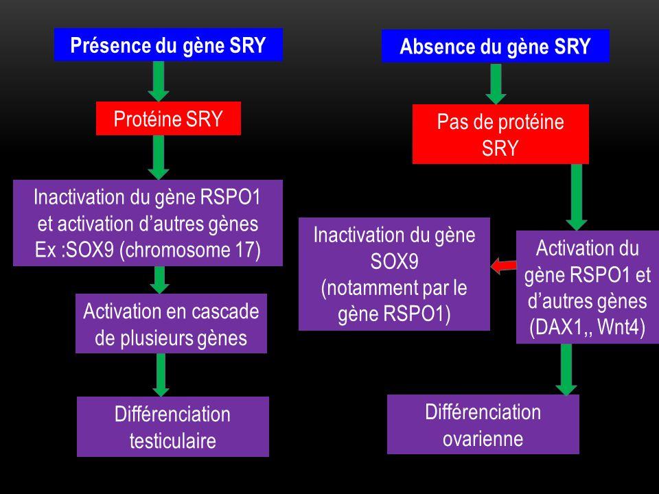 Présence du gène SRY Absence du gène SRY