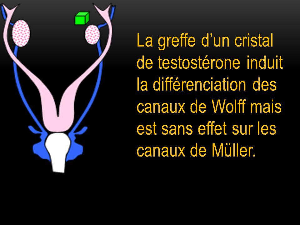 La greffe d'un cristal de testostérone induit la différenciation des canaux de Wolff mais est sans effet sur les canaux de Müller.