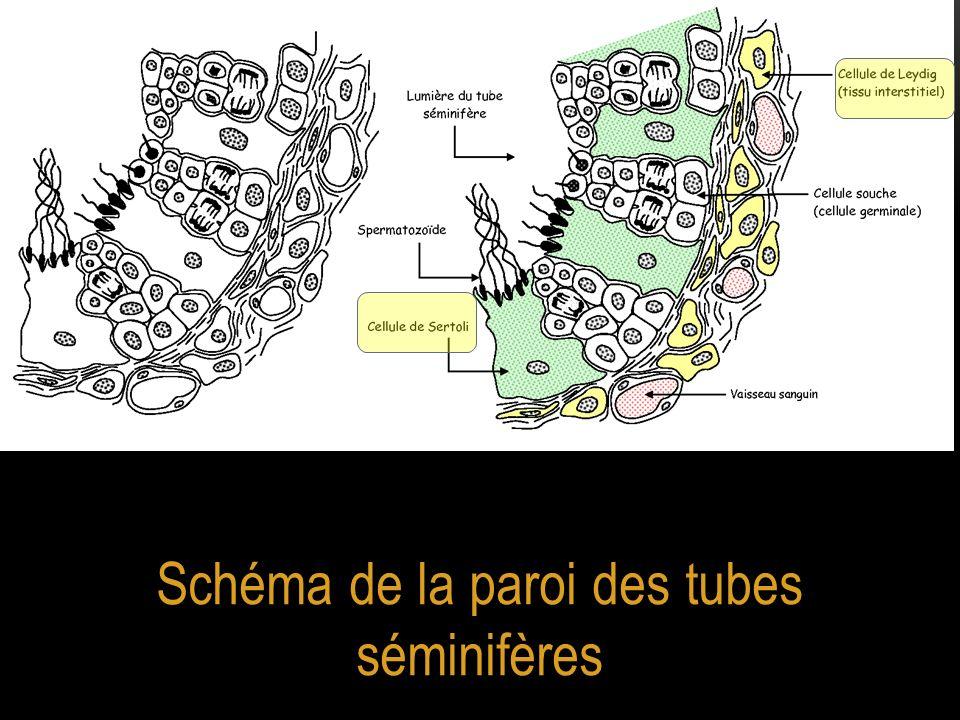 Schéma de la paroi des tubes séminifères