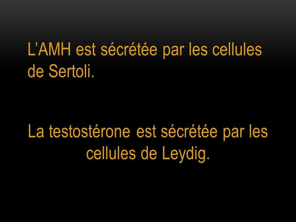 La testostérone est sécrétée par les cellules de Leydig.