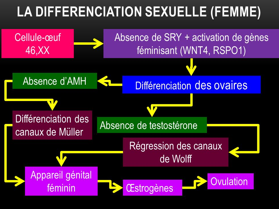 La differenciation sexuelle (femme)