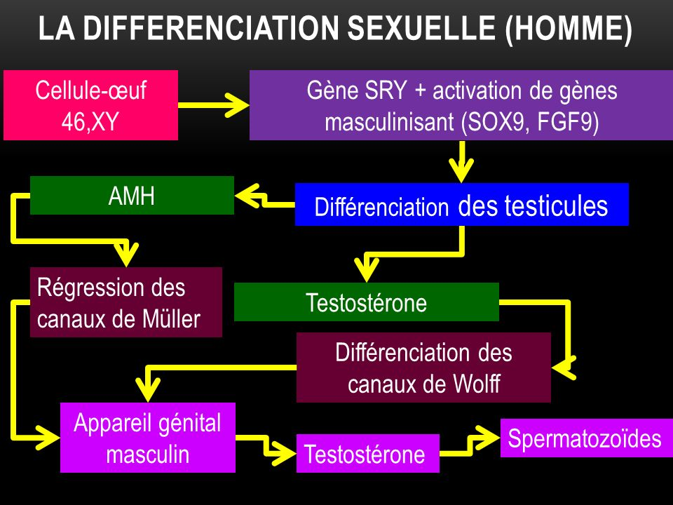 La differenciation sexuelle (HOmme)