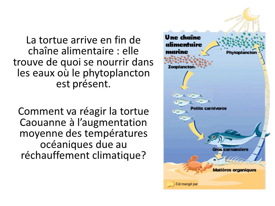 La tortue arrive en fin de chaîne alimentaire : elle trouve de quoi se nourrir dans les eaux où le phytoplancton est présent.