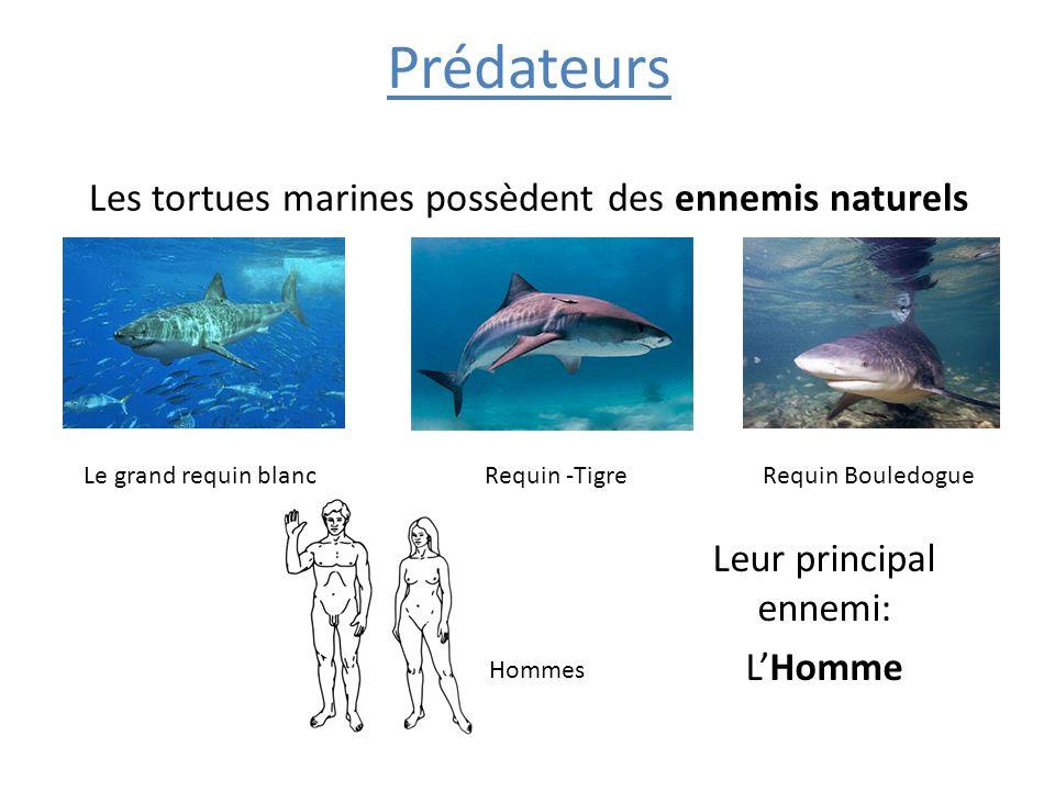 Prédateurs Les tortues marines possèdent des ennemis naturels