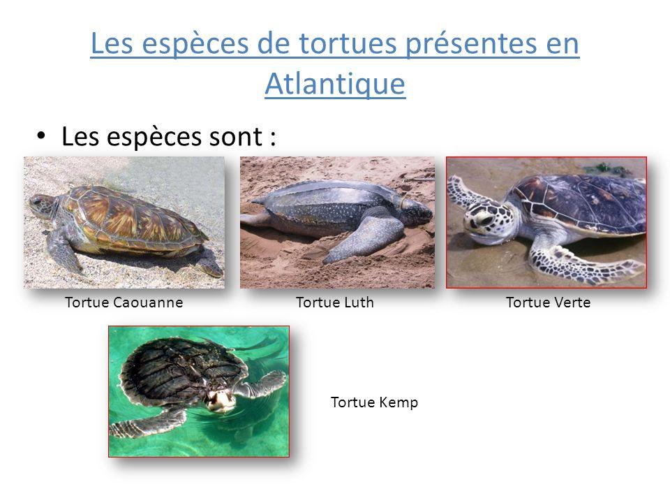 Les espèces de tortues présentes en Atlantique