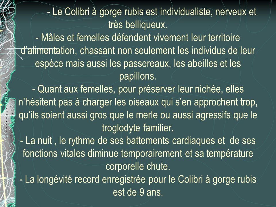 - Le Colibri à gorge rubis est individualiste, nerveux et très belliqueux.