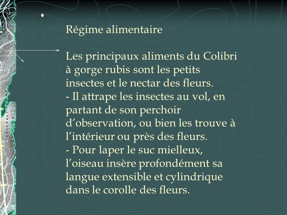 Régime alimentaire Les principaux aliments du Colibri à gorge rubis sont les petits insectes et le nectar des fleurs.