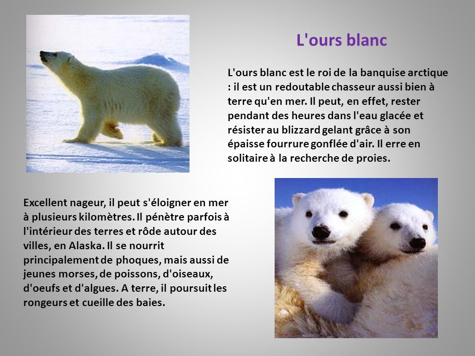 L ours blanc