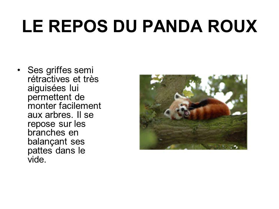 LE REPOS DU PANDA ROUX