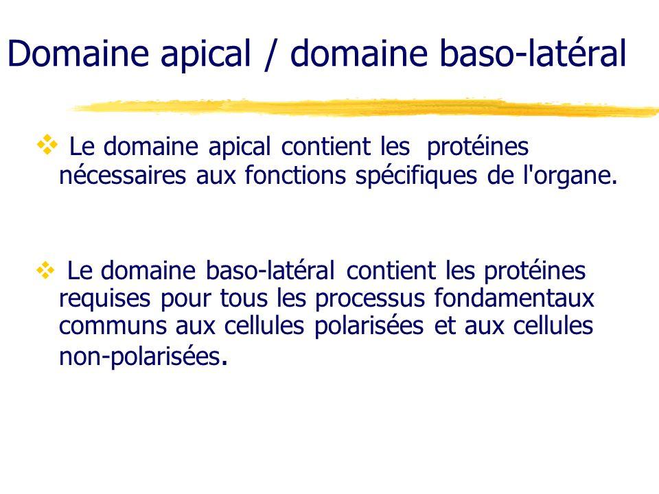 Domaine apical / domaine baso-latéral