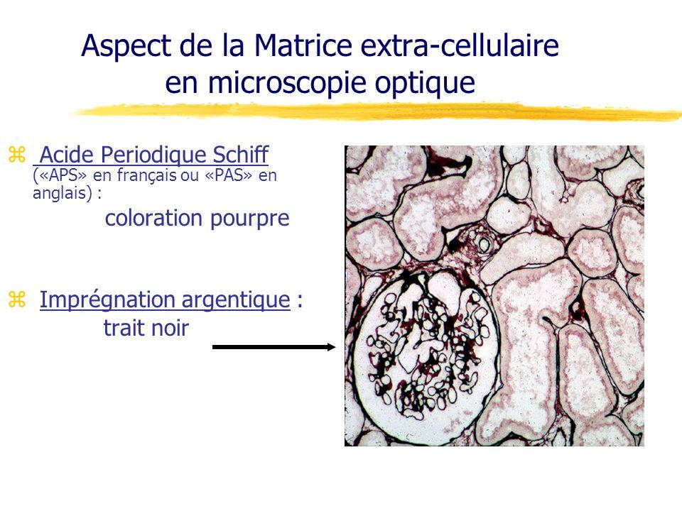 Aspect de la Matrice extra-cellulaire en microscopie optique