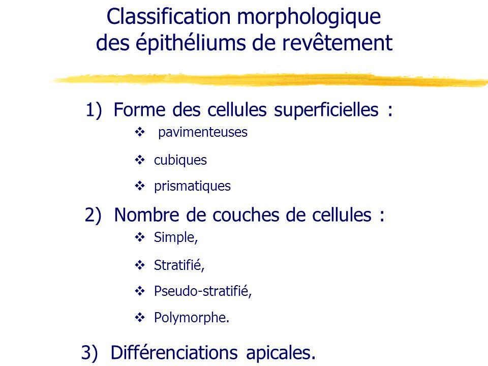 Classification morphologique des épithéliums de revêtement