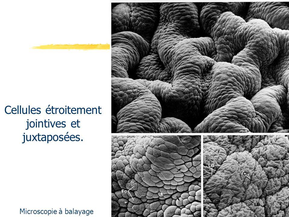 Cellules étroitement jointives et juxtaposées.