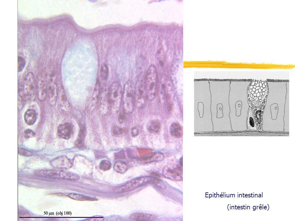 Epithélium intestinal