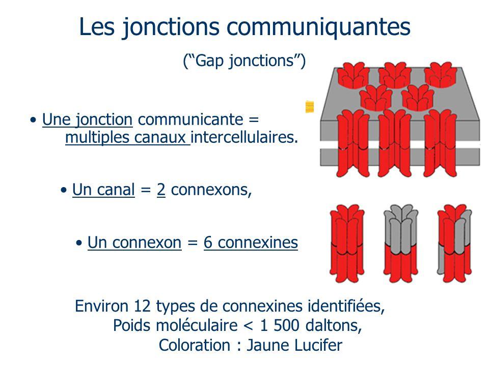 Les jonctions communiquantes