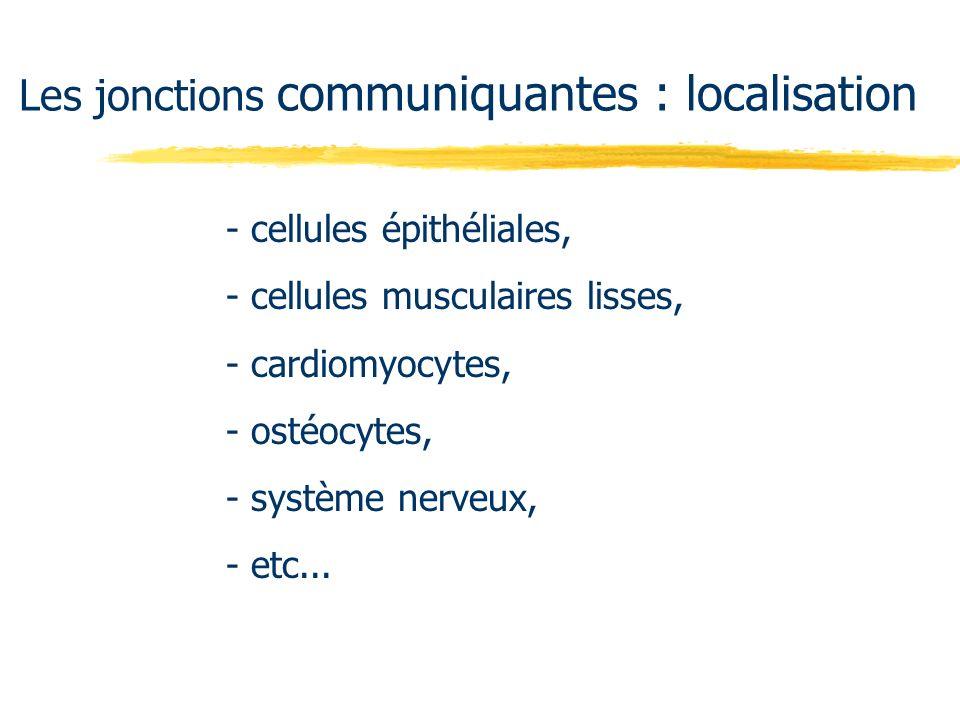 Les jonctions communiquantes : localisation