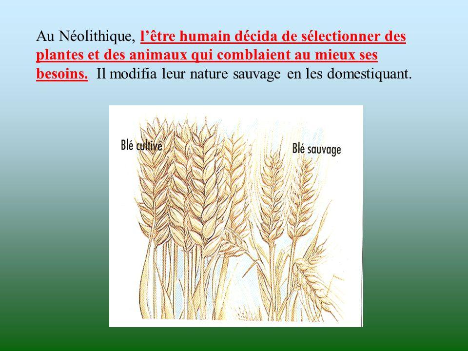 Au Néolithique, l'être humain décida de sélectionner des plantes et des animaux qui comblaient au mieux ses besoins.