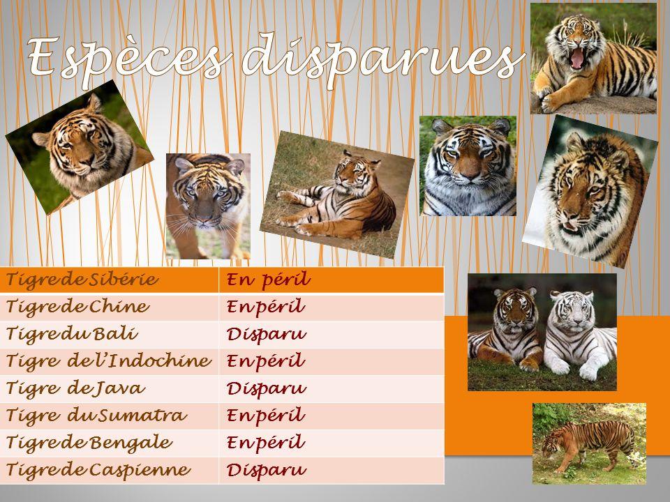 Espèces disparues Tigre de Sibérie En péril Tigre de Chine En péril