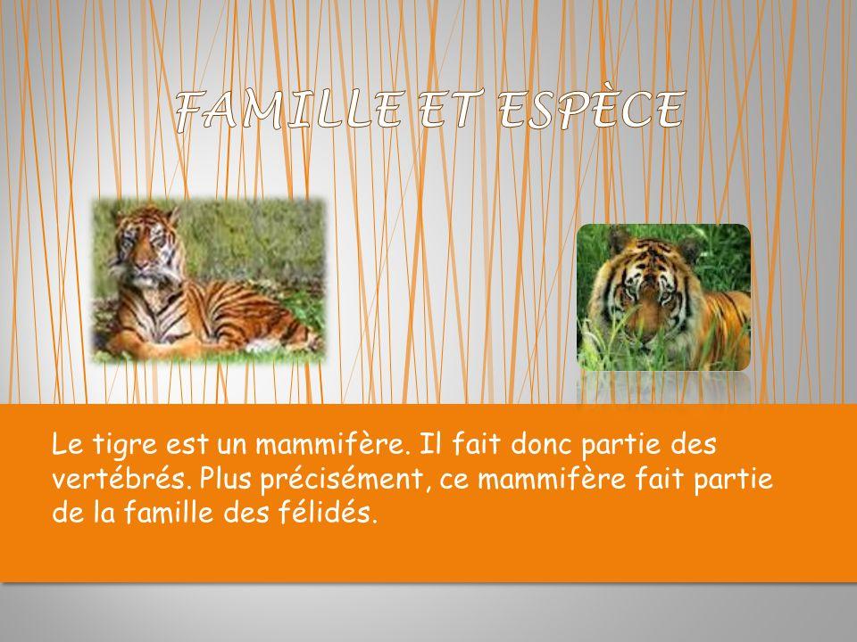 FAMILLE ET ESPÈCE Le tigre est un mammifère. Il fait donc partie des vertébrés.