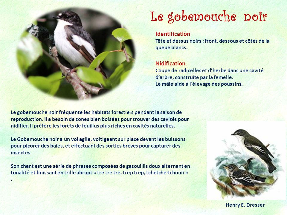 Le gobemouche noir Identification Nidification