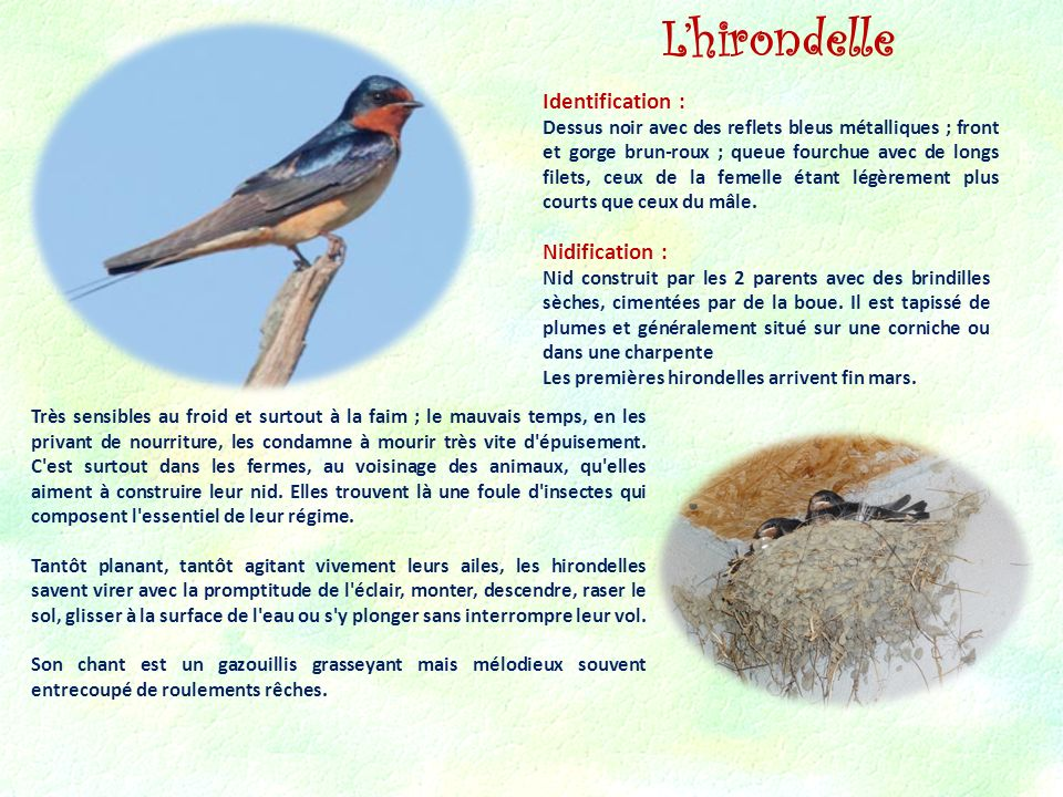 L'hirondelle Identification : Nidification :