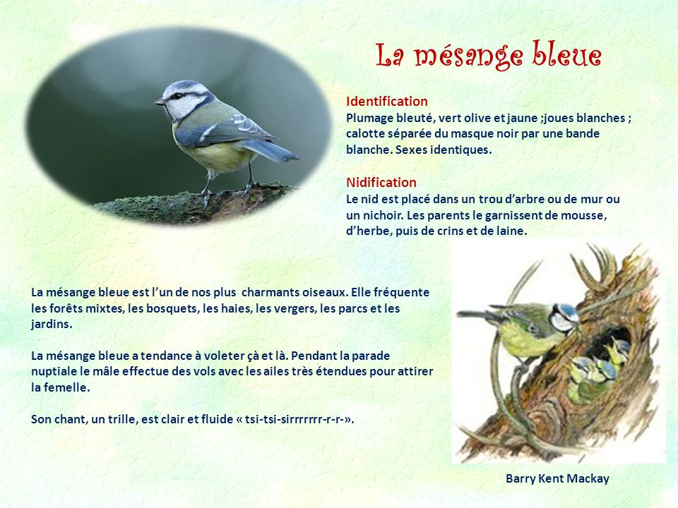 La mésange bleue Identification Nidification