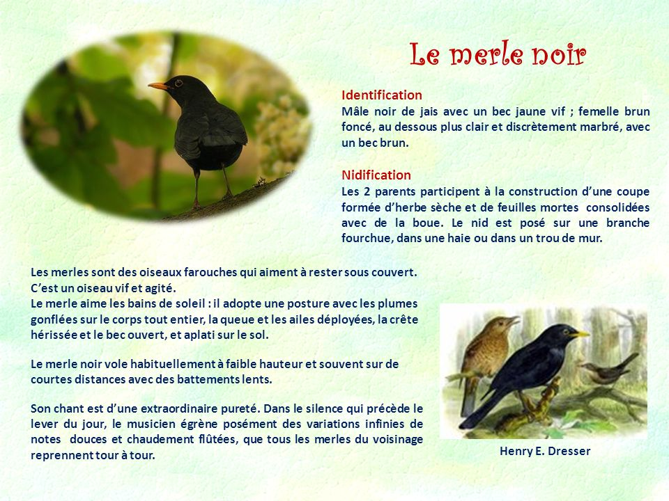 Le merle noir Identification Nidification