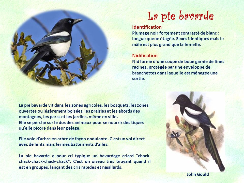 La pie bavarde Identification Nidification