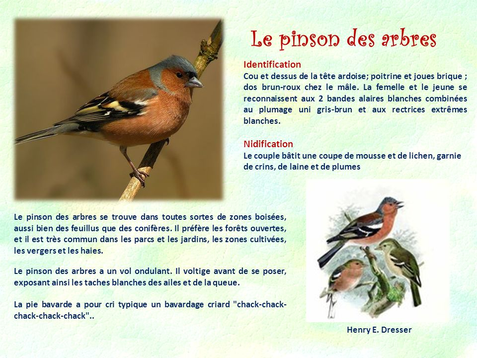 Le pinson des arbres Identification Nidification