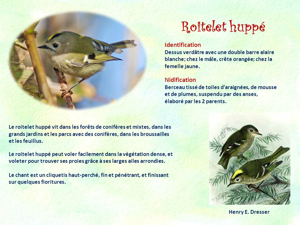 Roitelet huppé Identification Nidification