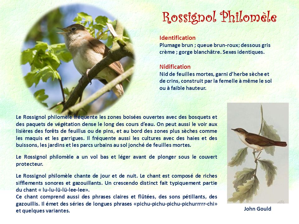 Rossignol Philomèle Identification Nidification