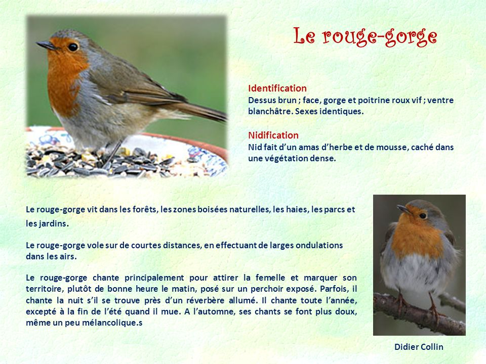 Le rouge-gorge Identification Nidification