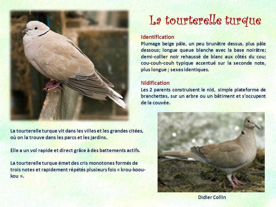 La tourterelle turque Moineau domestique Identification Nidification
