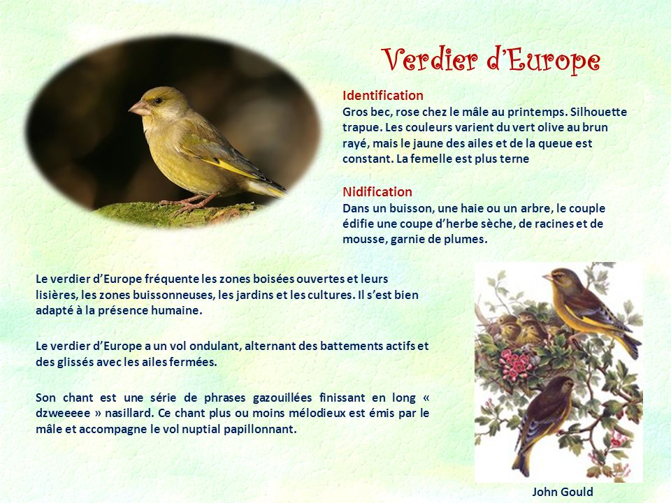 Verdier d'Europe Identification Nidification