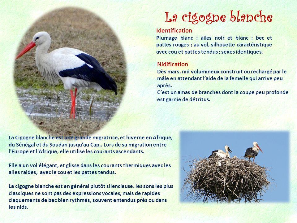 La cigogne blanche Identification Nidification