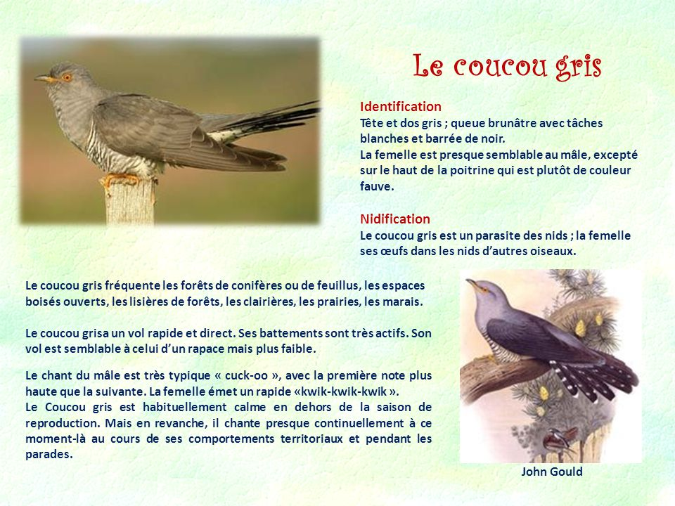 Le coucou gris Identification Nidification